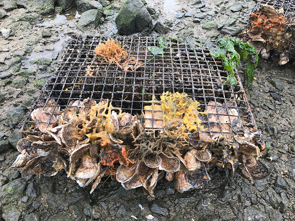 Oysters, New York, Billion Oyster Project