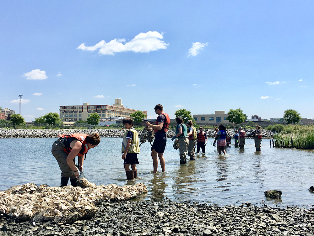 Oysters, New York, Billion Oyster Project, Volunteers
