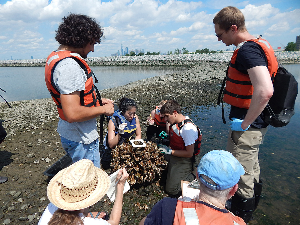 Oysters, New York, Billion Oyster Project, Volunteers, school, lesson plans, STEM,