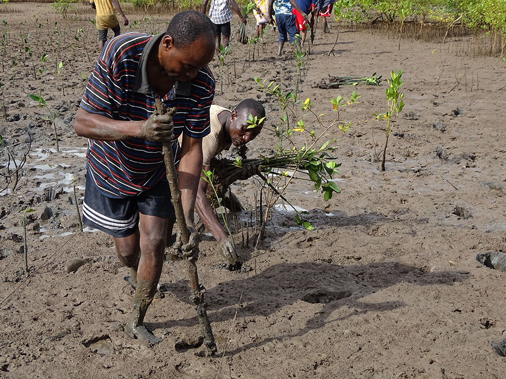 Community members replanting mangroves in Giriama (Robinson) Island, Kenya. Photo credit: Seacology