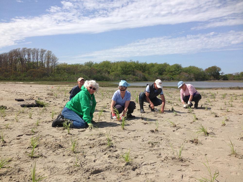 Ninigret Salt Marsh planting. Photo credit: Save The Bay