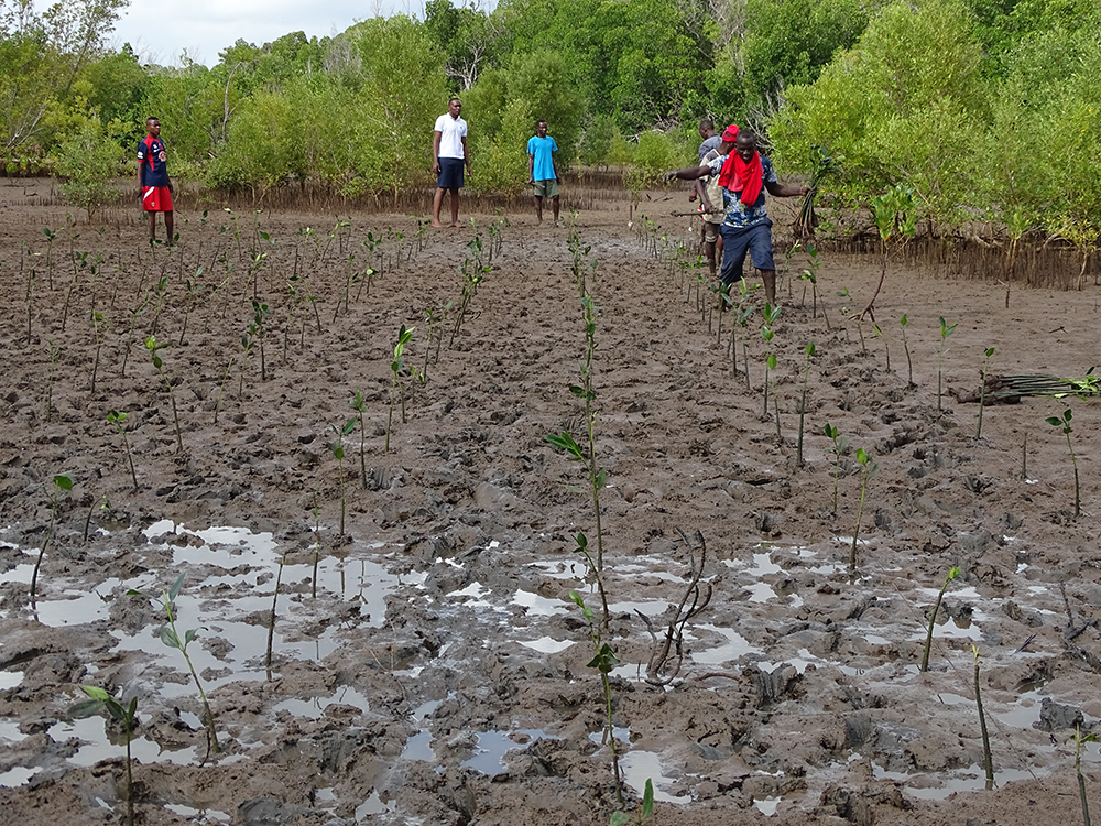 Community members replanting mangroves in Giriama (Robinson) Island, Kenya. Photo credit: Seacology.