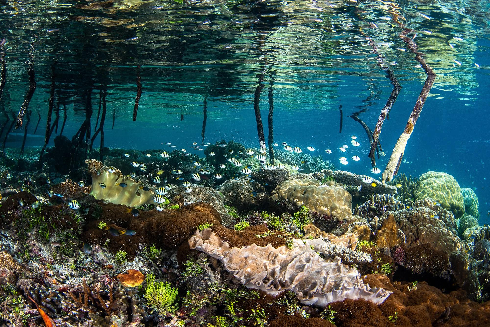 coral reef, mangrove, the ocean agency, Indonesia, Photo Credit: Brook Peterson / The Ocean Agency