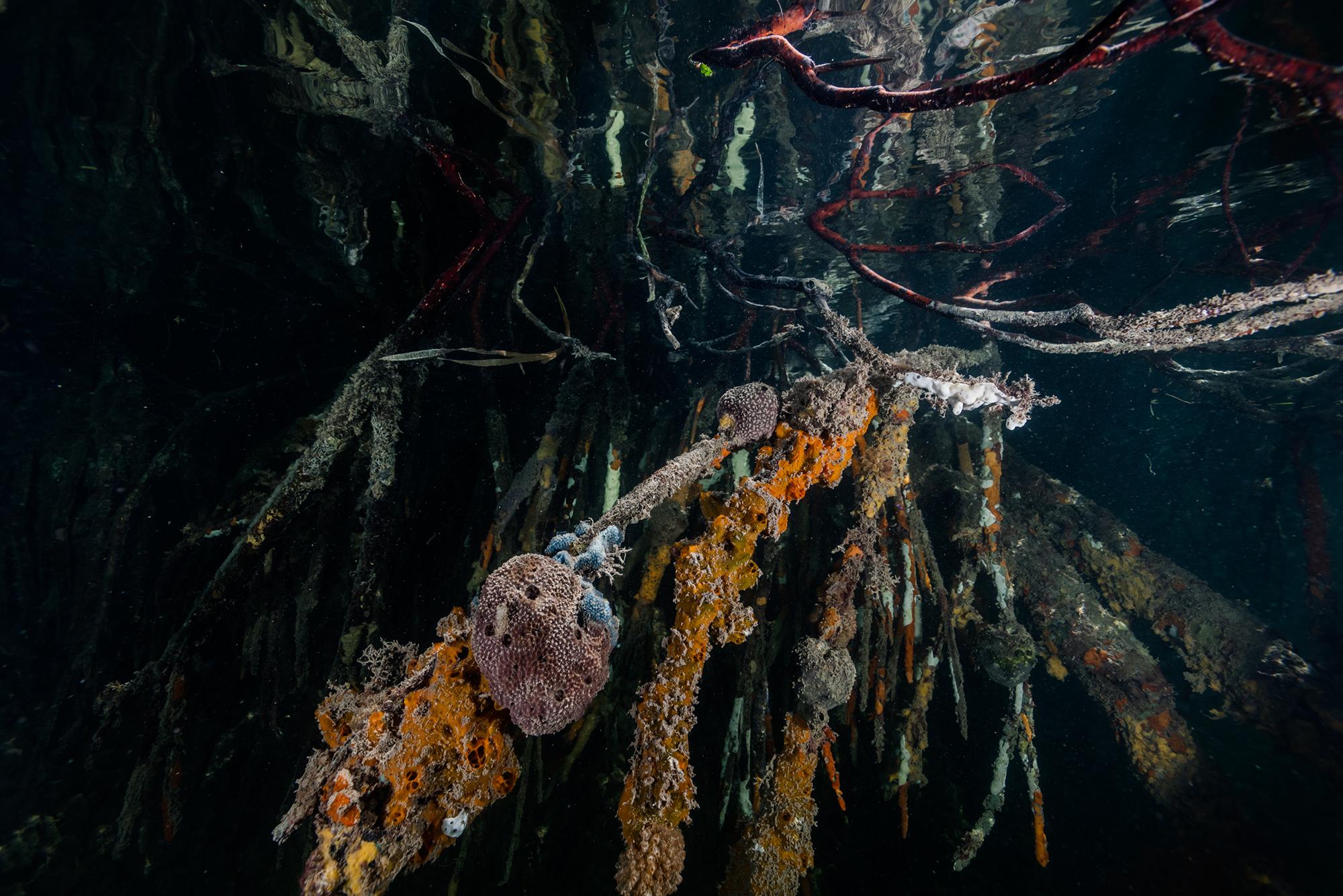 The Ocean Agency, Mangrove, Ocean Image Bank, mangrove, underwater, philip hamilton