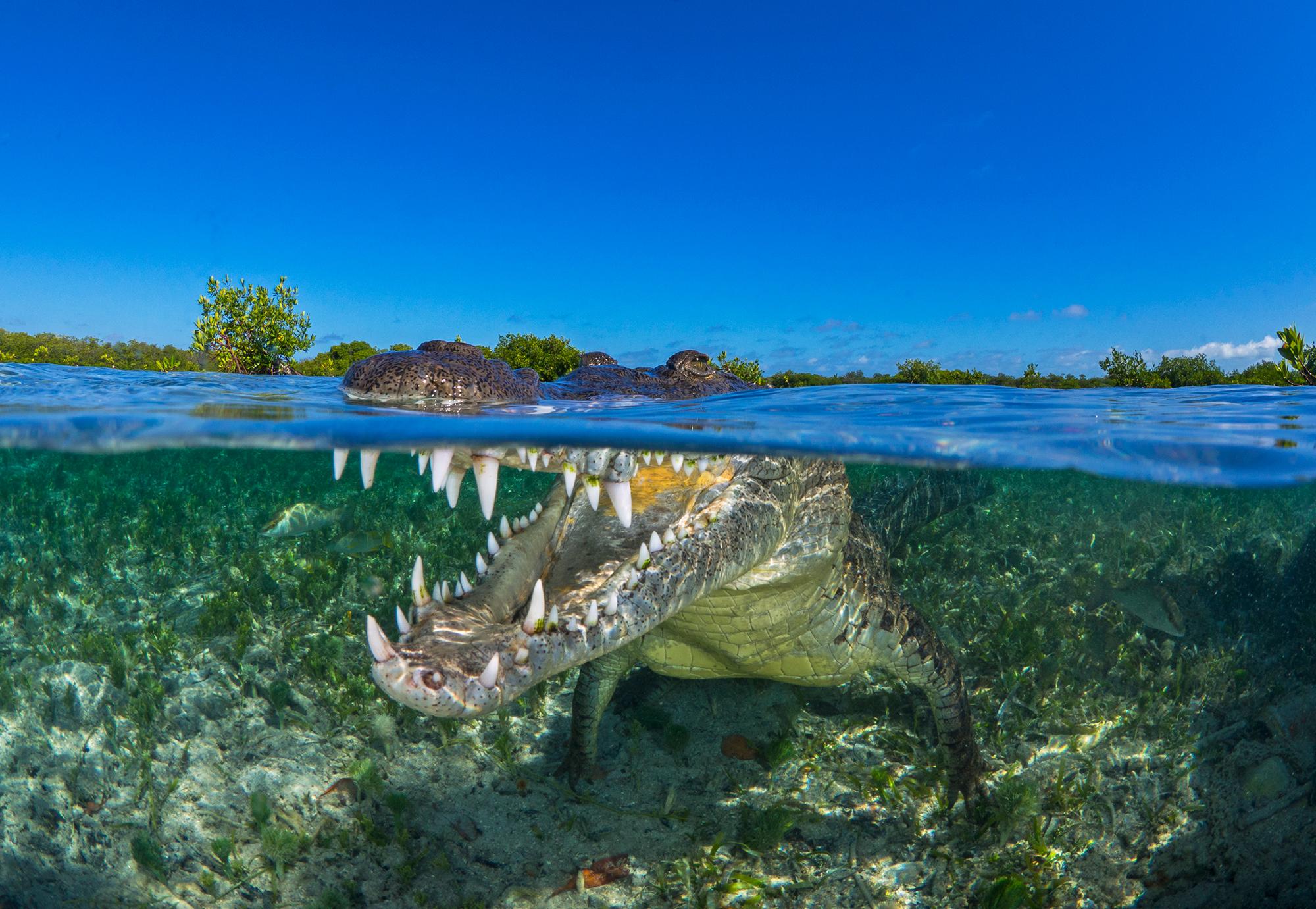 The Ocean Agency, Mangrove, Ocean Image Bank, Sean Chinn, Crocodile, Mangrove