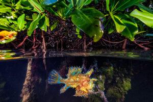 A rare sighting of a Sargassum frogfish in mangroves, Lac Bay, Bonaire. Photo credit: Lorenzo Mittiga / Ocean Image Bank