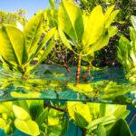 mangrove, the ocean agency, ecosystem restoration, ocean health