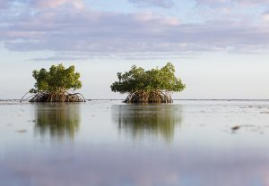 Mangroves can protect people and property by absorbing the impacts of storms, pictured here mangroves in Ke'ehi Lagoon Park, Hawaii. Photo credit: Toby Matthews / Ocean Image Bank