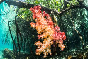 Soft coral grows on a mangrove root in Raja Ampat, Indonesia. Photo credit: Toby Matthews / Ocean Image Bank